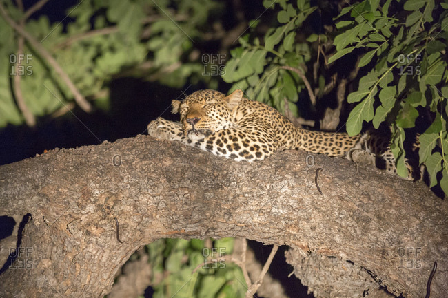 Leopard (Panthera pardus), South Luangwa National Park, Zambia, Africa