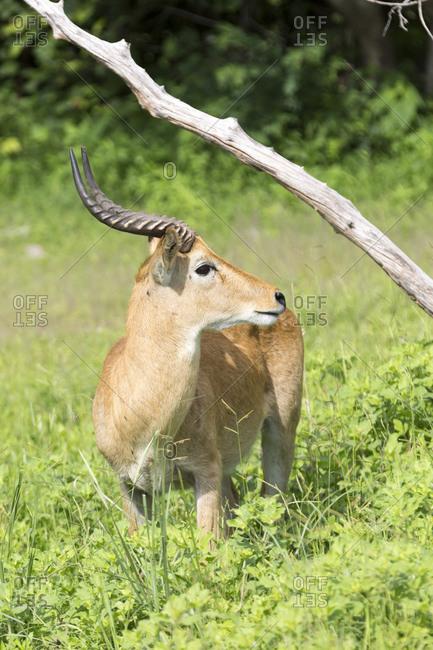 Puku (Kobus vardonii), South Luangwa National Park, Zambia, Africa