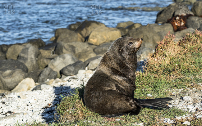 Sea lion in the evening sun, Kaikoura, New Zealand