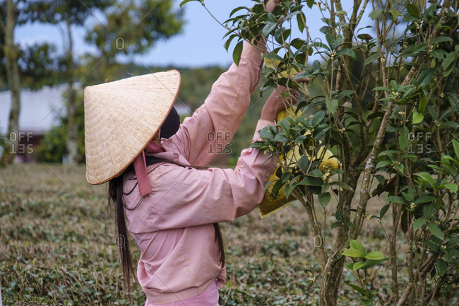 Tea picker, Bao Loc, Lam Dong Province, Vietnam, Asia