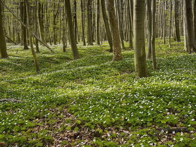 Wood anemone in the Hainich National Park, Thuringia, Germany