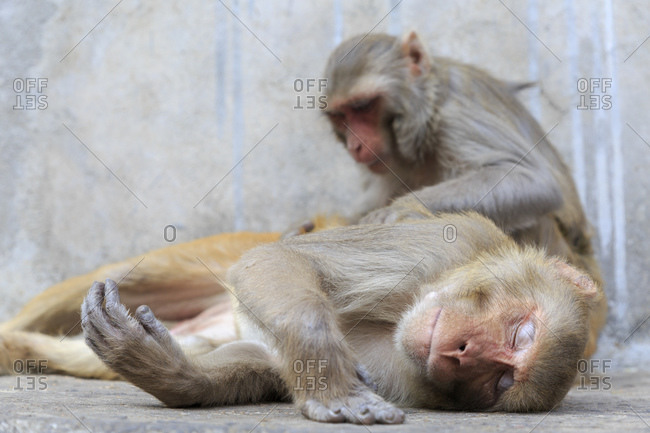 Galtaji, Galta Ji, monkey temple complex, near Jaipur, Rajasthan, India