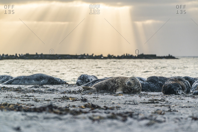 Gray seals on a dune at sunset, Helgoland, Schleswig-Holstein, Germany