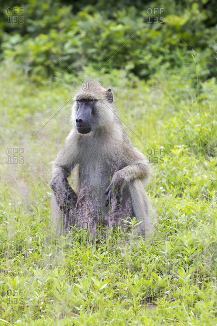 Steppe baboon (Papio cynocephalus), South Luangwa National Park, Zambia, Africa