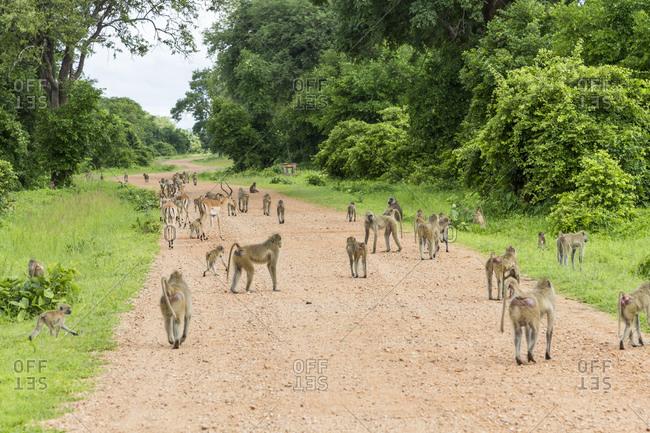 Steppe baboon (Papio cynocephalus), South Luangwa National Park, Zambia, Africa