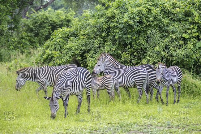 Steppe Zebra (Equus quagga), South Luangwa National Park, Zambia, Africa
