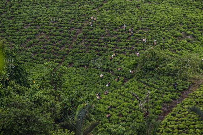 Tea pickers on a tea plantation near Mbeya, Tanzania, Africa