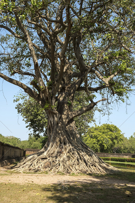 Tree in Sukhothai History Park, UNESCO World Heritage Site, Thailand