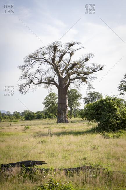 African baobab tree (Adansonia digitata), South Luangwa National Park, Zambia, Africa