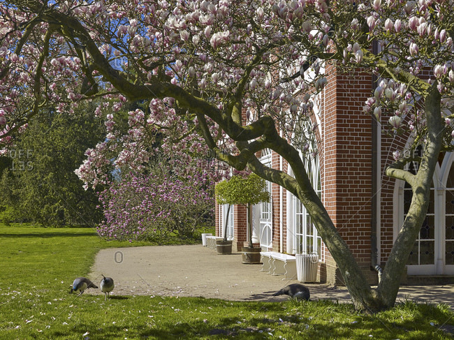 Magnolia blossom at the Gothic House in Worlitzer Park, Saxony-Anhalt, Germany