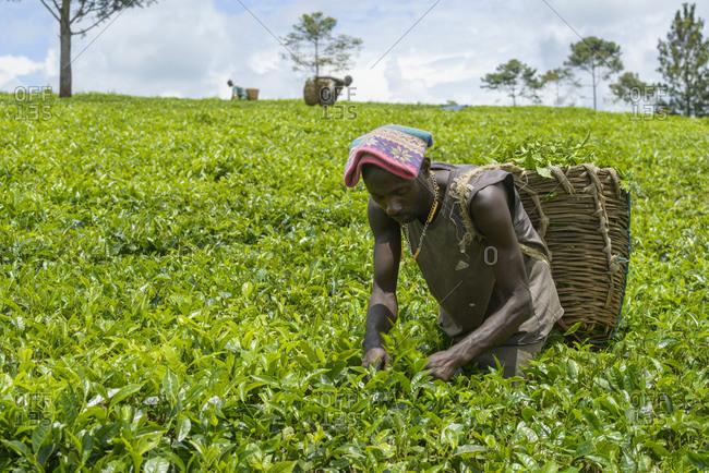 October 16, 2014: Tea pickers near Fort Portal in Uganda, Africa