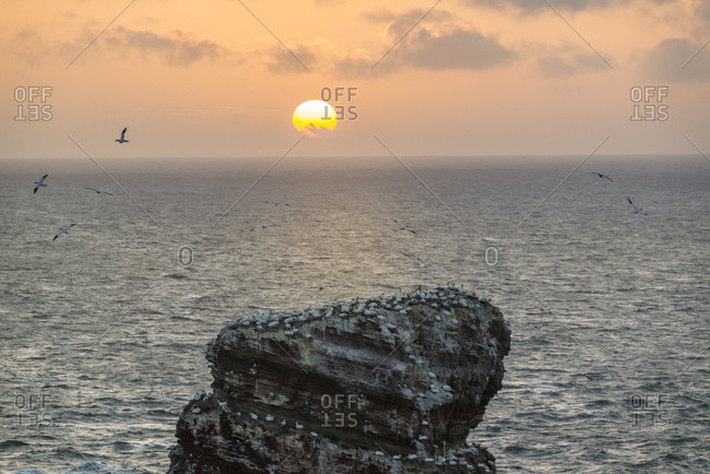 """""""Lange Anna"""" rock formation with northern gannets at sunset, Helgoland, Schleswig-Holstein, Germany"""