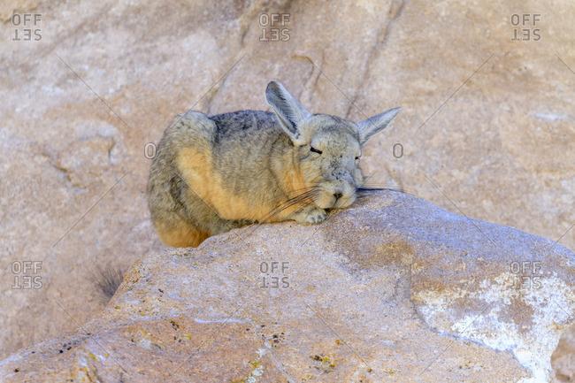 Cuvier rabbit mouse (Lagidium viscacia) or Bergviscacha (Lagidium), Altiplano, Bolivia, South America