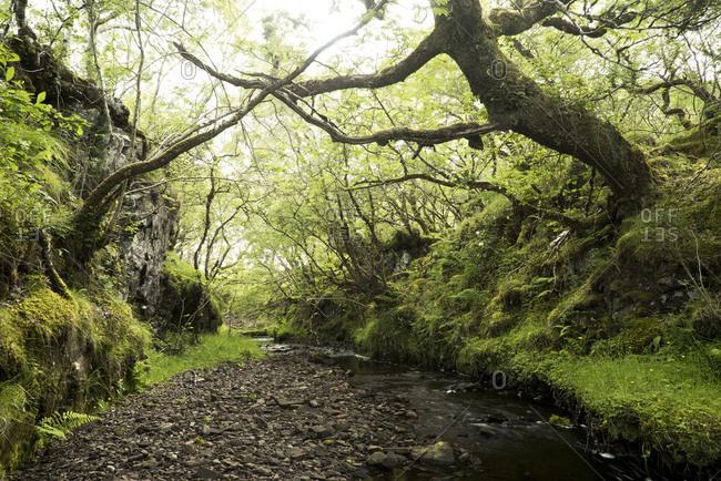 Forest with gnarled trees, Isle of Skye, Scotland, England, United Kingdom, Europe