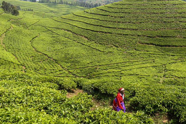 October 26, 2014: Tea pickers on a tea plantation in Rwanda, Africa
