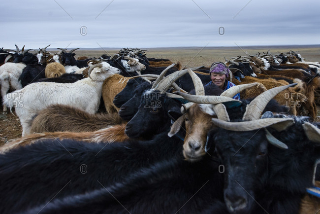 September 18, 2013: Mongolian nomads milking goats in the Gobi Desert, Mongolia