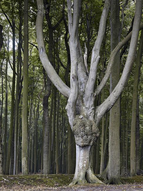 tree in the ghost forest Nienhagen, Baltic resort Nienhagen, Mecklenburg-Western Pomerania, Germany