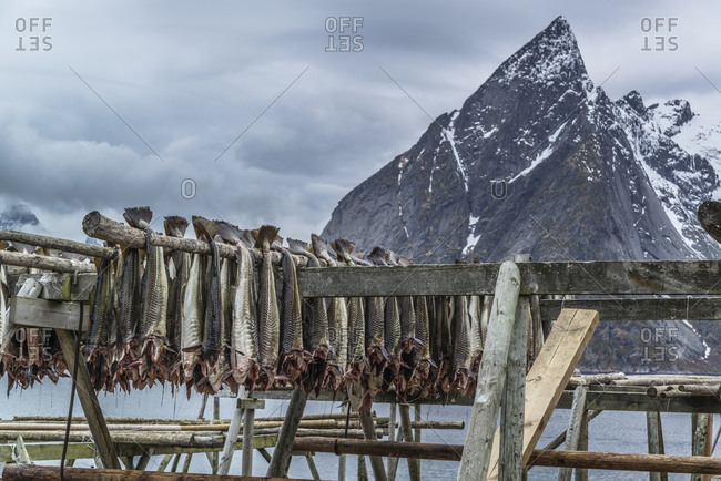 Cod hangs on wooden racks to dry and becomes stockfish, Hamnoy, Lofoten, Norway