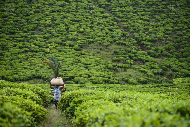 November 20, 2014: Tea pickers on a tea plantation near Mbeya, Tanzania, Africa