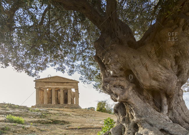 Old olive tree, Temple of Concord, the archaeological sites of Agrigento, Sicily, Italy