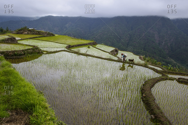 Igorot woman and dog run between rice terraces of the Cordilleras, north of Luzon, Philippines