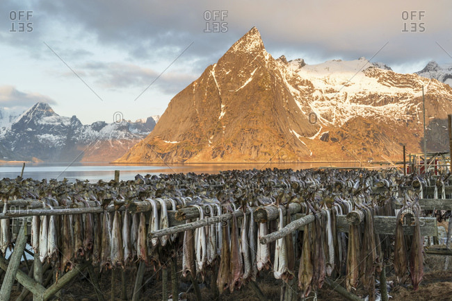 Cod hangs to dry on wooden racks in front of the mountain Olstinden, Moskenes, Lofoten, Norway
