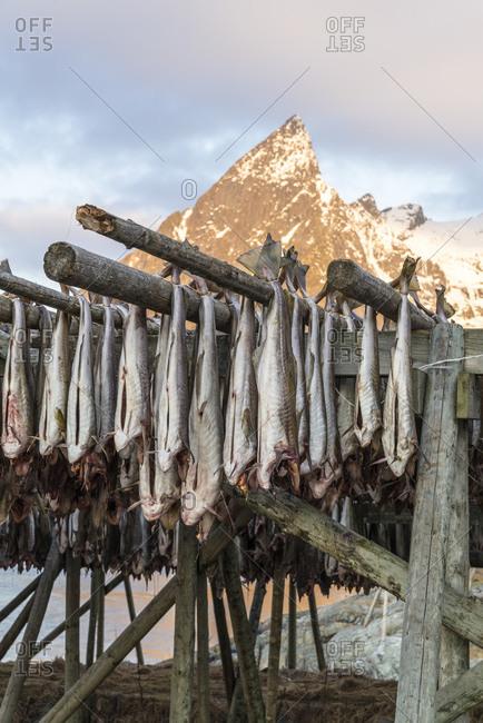Cod hangs to dry on wooden racks in front of the mountain Olstinden, Moskenes, Lofoten, Norway