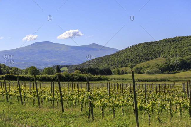 Viniculture of Brunello di Montalcino, municipality of Montalcino in Val dniOrcia, Province of Siena, Tuscany, Italy