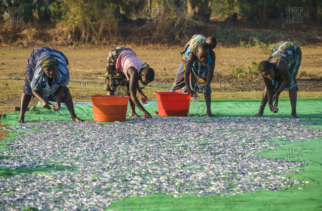 November 21, 2014: Women lay fish out to dry on a fish market on Lake Malawi, Malawi, Africa
