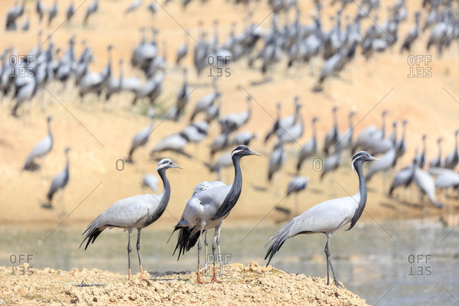 On the edge of the Thar Desert thousands of maiden cranes, Khichan, winter each year near Phalodi, Rajasthan, India