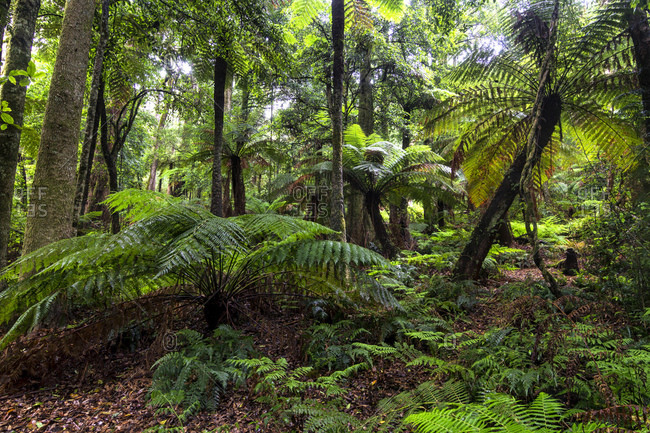 The Cathedral of Ferns is one of the few remnants of extensive tree fern forests in New South Wales, Australia
