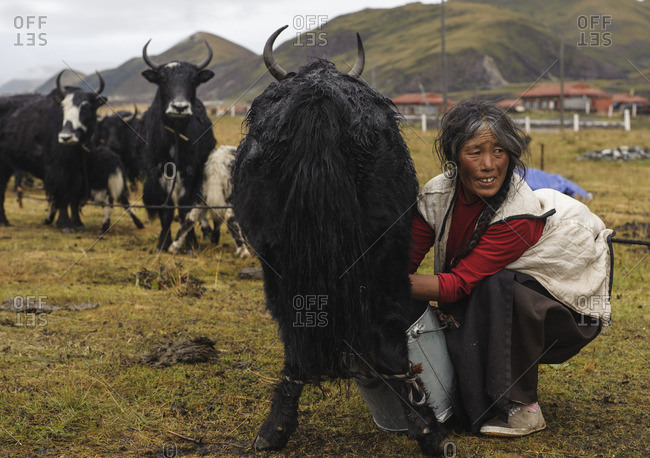 September 20, 2011: At the end of every day Tibetan nomads have the difficult task of arranging and arranging their yaks around their campsites. Tibetan plateau