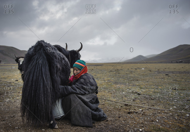 September 29, 2011: At the end of every day Tibetan nomads have the difficult task of arranging and arranging their yaks around their campsites. Tibetan plateau