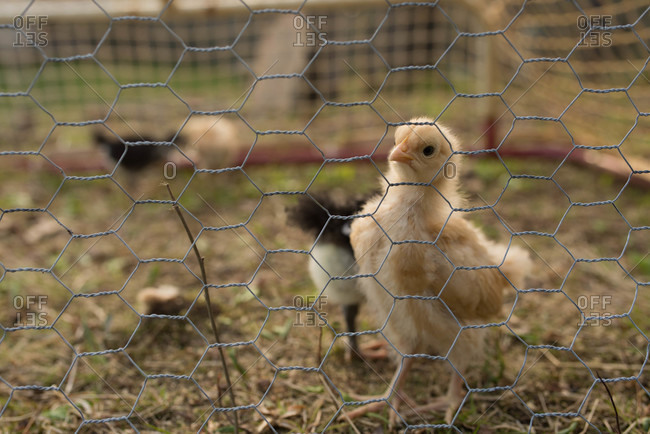 Baby chick looking from behind chicken wire