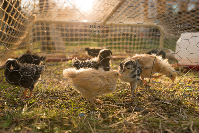 Group of baby chicks behind chicken wire
