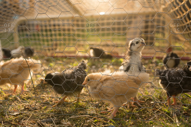 Group of young chicks behind chicken wire