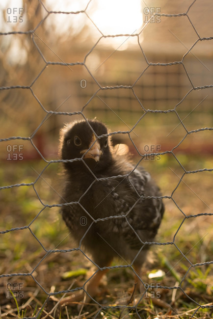One chick looking at camera from behind chicken wire