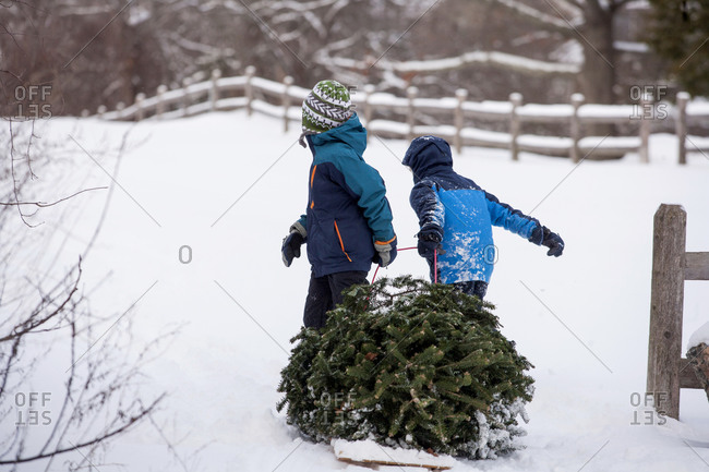 Brothers pulling freshly cut Christmas Tree on sled