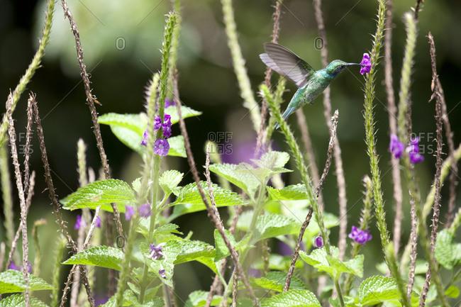 Green violet-ear (Colibri thalassinus) hummingbird, Costa Rica