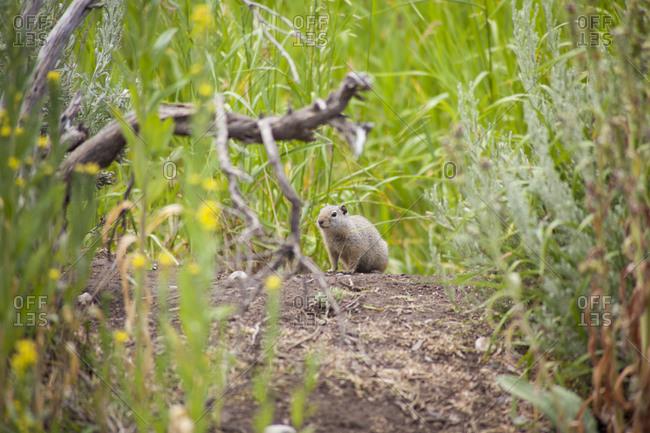 Ground squirrel near Jackson, Wyoming