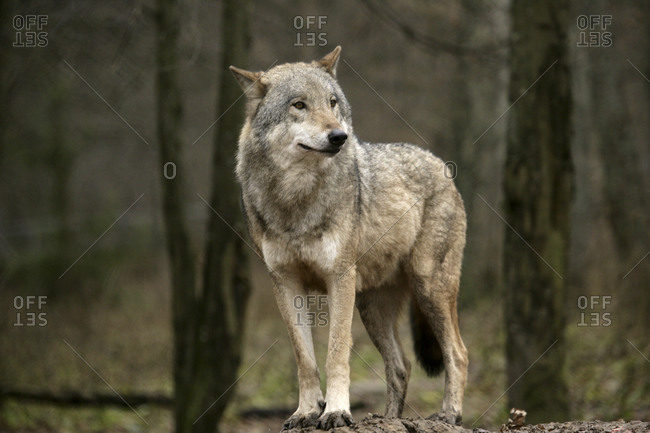 A grey wolf Canis lupus