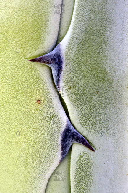 Extreme close-up of Agave Americana plant, Cabo Dec Gate, Almeria, Spain