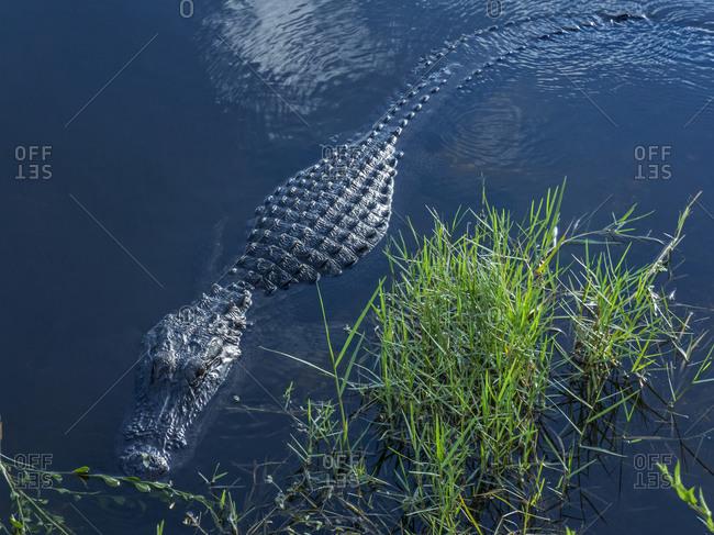 Alligator swimming in swamp, Georgia, USA