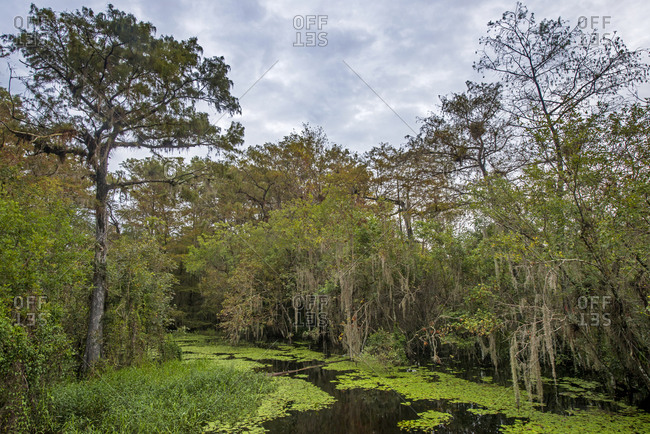 Green swamp of Big Cypress National Preserve, Florida, USA