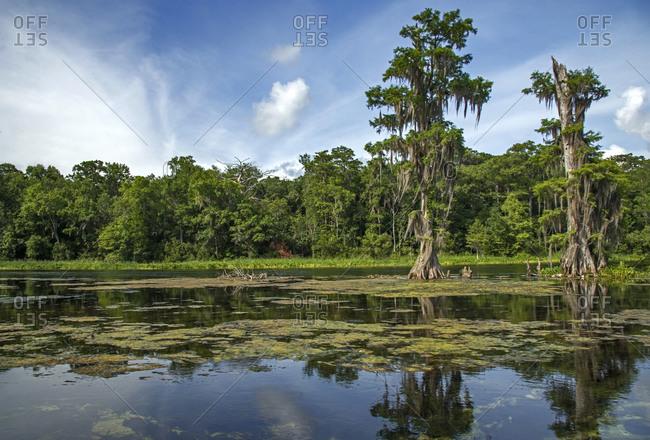 Wakulla River with cypress trees and algae, Florida, USA