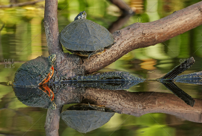 Turtles Loxahatchee River, Florida, USA