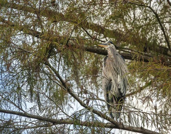Great blue heron (Area Herodias) perching on cypress tree, Loxahatchee River, Florida, USA
