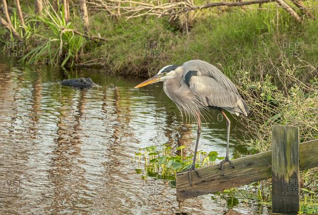 Alligator watching heron, La Chua Trail, Pains Prairie, Gainesville, Florida, USA