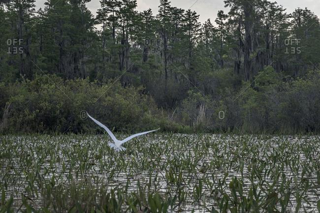 Egret flying over Okefenokee Swamp, Florida, USA