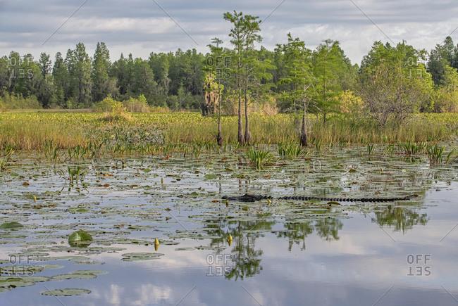 Alligator, Okefenokee Swamp, Georgia, USA